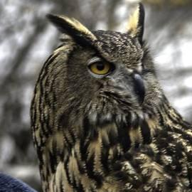 John Straton - Wise Owl