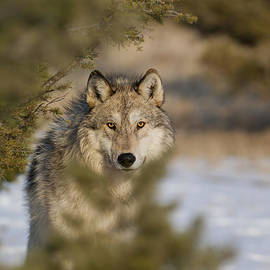 Wildlife Fine Art - Wolf-animals-image-9