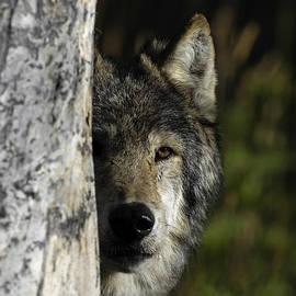 Wildlife Fine Art - Wolf Hiding
