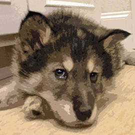 May Finch - Wolf Hybrid Pup