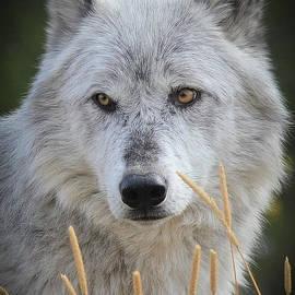 Athena Mckinzie - Wolf in a Field