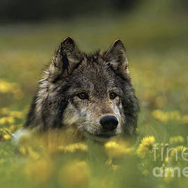 Wildlife Fine Art - Wolf in Dandelions