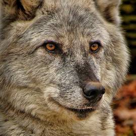 Devina Browning - Wolf Portrait