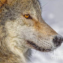 Jerry Fornarotto - Wolf Profile