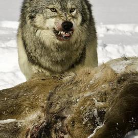 Jerry Fornarotto - Wolf Protecting Kill