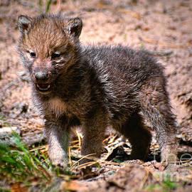 Les Palenik - Wolf pup