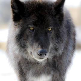 Dan Panattoni - Wolfdogs Zeus