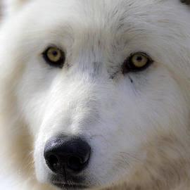 Dan Panattoni - WolfDogs Nova