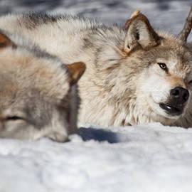 Dora Miller - Wolves