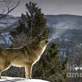 Wildlife Fine Art - Wolves Nature Song