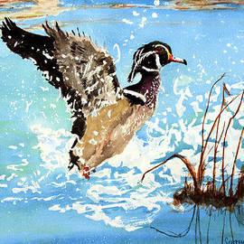 Stephen S Yaeger - Wood Duck Taking Flight