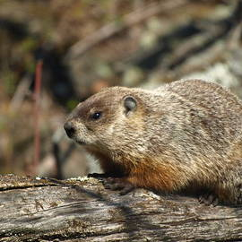 James Peterson - Woodchuck