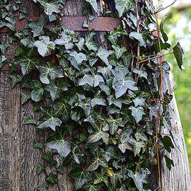 Rumyana Whitcher - Wooden Barrel And Ivy