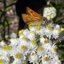 Cheryl Hoyle - Woodland Skipper Butterfly