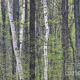 Alan L Graham - Woodland Spring