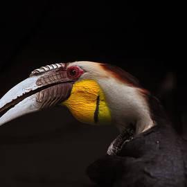 Eugene Campbell - Wreathed Hornbill