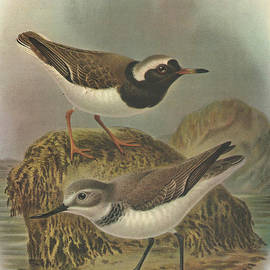 J G Keulemans - Wrybill and Shore Plover