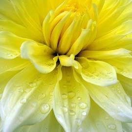 Sara  Raber - Yellow and White Dahlia