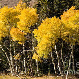 Robert Ford - Yellow Aspen and Evergreens Kolob Terrace Zion National Park Utah