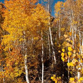 Robert Ford - Yellow Aspen Kolob Terrace Road Utah