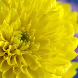Dana Moyer - Yellow Beauty