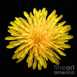 Bob and Nadine Johnston - Yellow Chrysanthemum