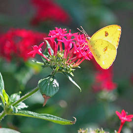 Suzanne Gaff - Yellow Clouded Sulphur Butterfly