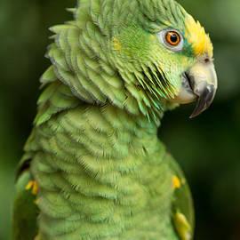 Eti Reid - Yellow crowned amazon parrot