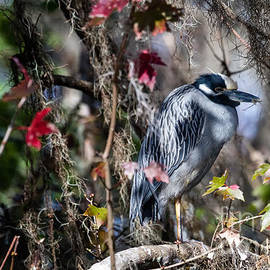 Dawna  Moore Photography - Yellow-crowned Night-Heron Blue Springs State Park Florida