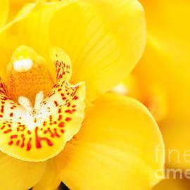 Oscar Gutierrez - Yellow Cymbidium Orchid