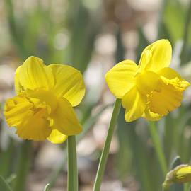 Kim Hojnacki - Yellow Daffodil Flowers