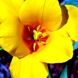 Katy Hawk - Yellow Daffodil