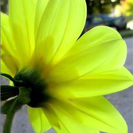 Danielle  Parent - Yellow Dahlia Bloom