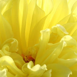 Ben and Raisa Gertsberg - Yellow Dahlia Burst