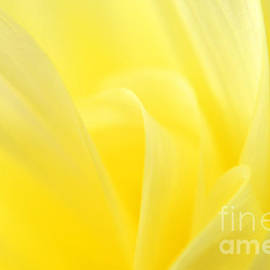 Olivia Hardwicke - Yellow Dahlia Close-up