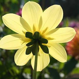 Schelleen Rathkopf - Yellow Dahlia