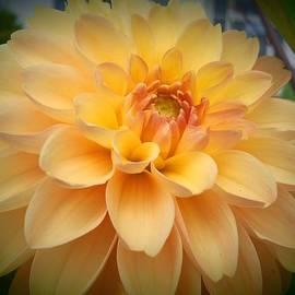Wendy Yee - Yellow Dahlia
