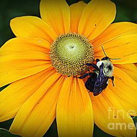 Photographic Art and Design by Dora Sofia Caputo - Yellow Daisy and Honey Bee