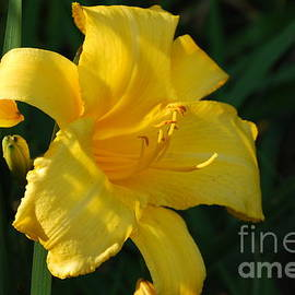DejaVu Designs - Yellow Daylily in Bloom