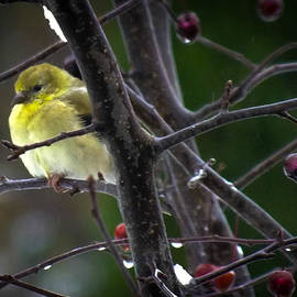 Karen Wiles - Yellow Finch