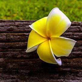 Jijo George - Yellow Flower