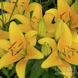 Ann Horn - Yellow Garden Lilies