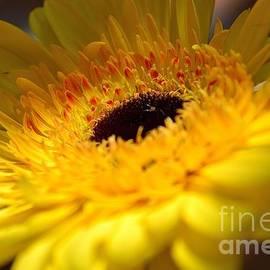 Holden Parker - Yellow Gerbera Daisy