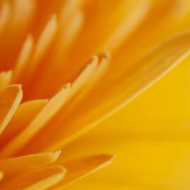 Zoe Ferrie - Yellow Gerbera Petals