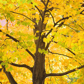 Matt Plyler - Yellow Leaves of Fall - A Tree in Isolation