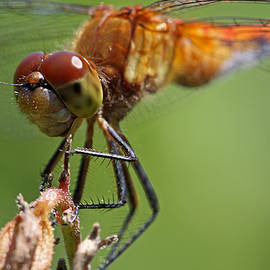 Juergen Roth - Yellow-Legged Meadowhawk Dragonfly