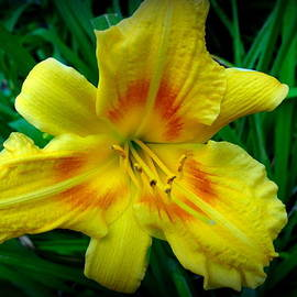 Debbie Robbins - Yellow Lily