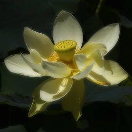 Leslie Reagan -  Joy To The Wild Photos - Yellow Lily Pond Bloom