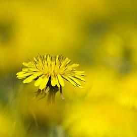 Christina Rollo - Yellow on Yellow Dandelion