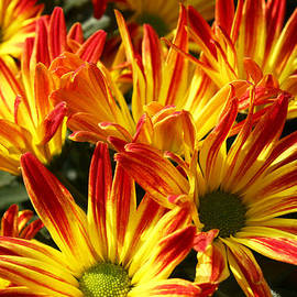 Ed Swonger - Yellow-Orange Mums